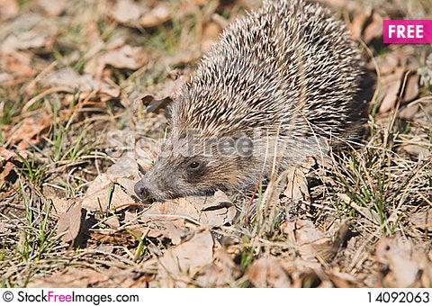 Free Asian Grey Hedgehog. Stock Photos - 14092063
