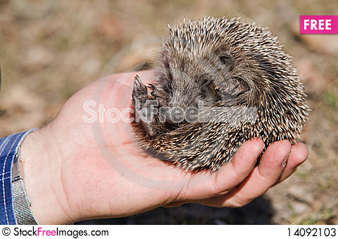 Free Small Hedgehog In Hand. Stock Photos - 14092103