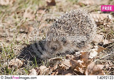 Free Beautiful Asian Hedgehog. Stock Photos - 14092123
