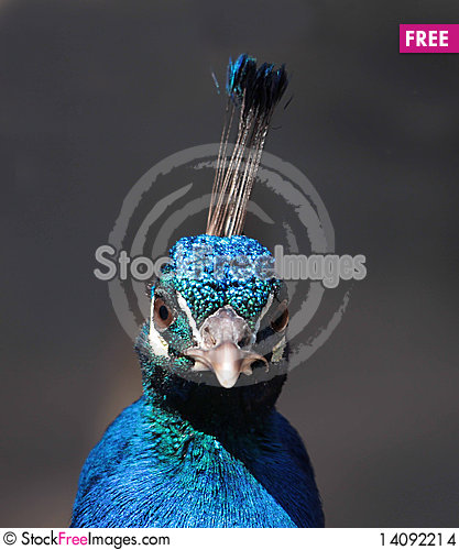 Free Peacock Stock Images - 14092214