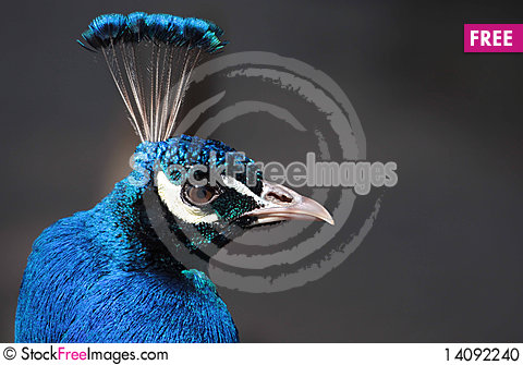 Free Head Of A Peacock Stock Photo - 14092240