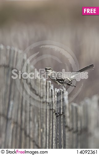 Free Northern Mockingbird Stock Image - 14092361