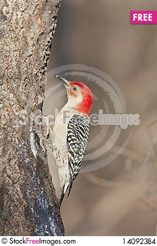 Free Red-bellied Woodpecker Stock Images - 14092384