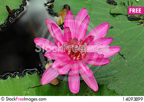 Free Water Lily Royalty Free Stock Images - 14093899