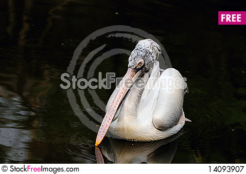 Free PElican Royalty Free Stock Photography - 14093907