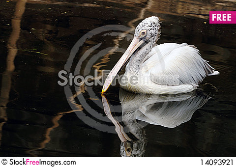 Free Pelican Stock Image - 14093921