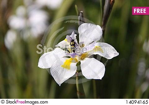 Free Longhorn Beetle On Iris Royalty Free Stock Photo - 14094165