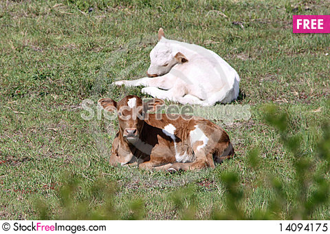 Free Nguni Cattle - Two Calves Royalty Free Stock Photo - 14094175