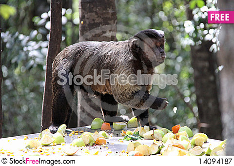 Free Tufted Capuchin Feeding Royalty Free Stock Photography - 14094187