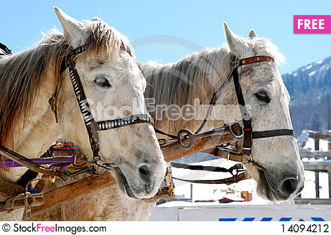 Free Two Horses Stock Photography - 14094212
