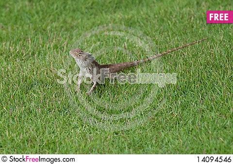 Free Garden Lizard Royalty Free Stock Image - 14094546