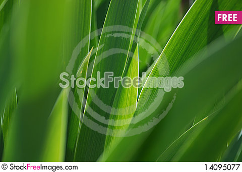 Free Closeup Of Iris Leaves Royalty Free Stock Photography - 14095077