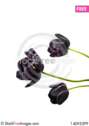 Free Tulips Blacks Royalty Free Stock Images - 14095399