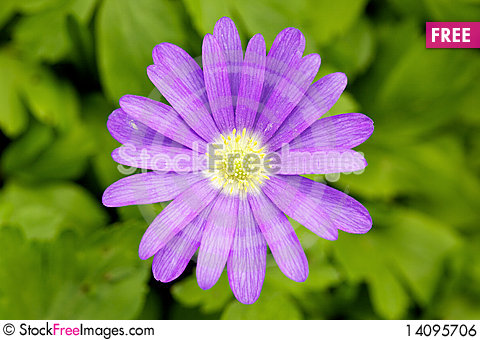 Free Closeup Of A Pink Daisy Royalty Free Stock Image - 14095706