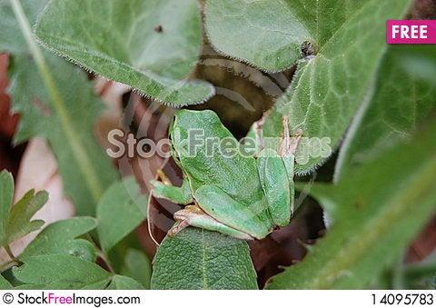 Free Green Frog Stock Photos - 14095783