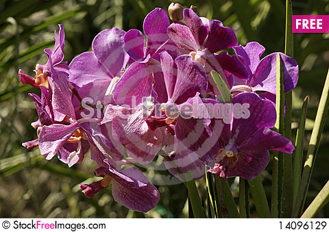 Free Paradise Butterflies. Orchids Of Borneo. Royalty Free Stock Images - 14096129