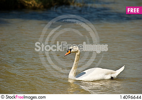 Free Mute Swan Stock Images - 14096644