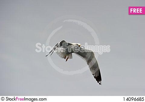 Free Herring Gull Royalty Free Stock Photo - 14096685