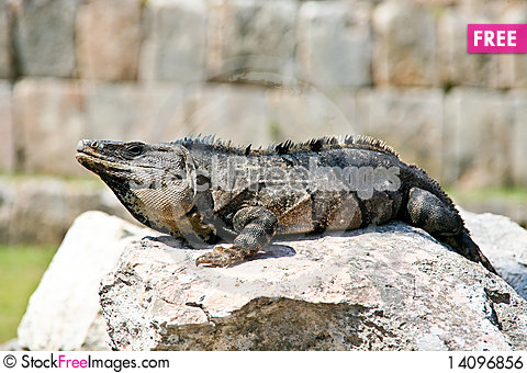 Free Iguana Royalty Free Stock Image - 14096856