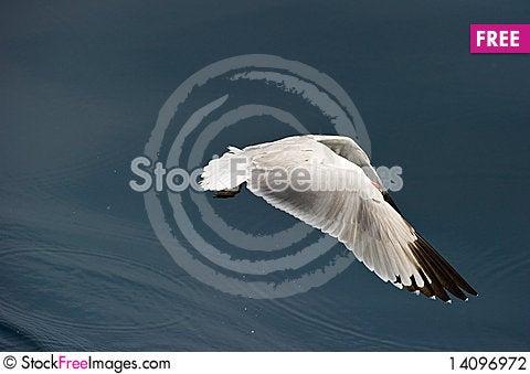 Free Audoin´s Gull Stock Photography - 14096972