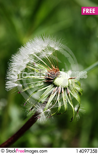 Free Dandelion Afield Royalty Free Stock Photos - 14097358