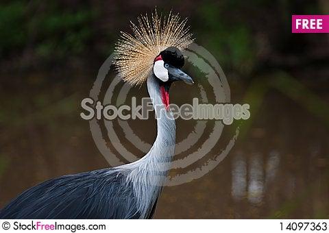 Free A Beautiful Crown Crane Stock Photos - 14097363