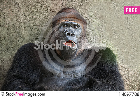 Free Silver Back Lowland Gorilla Royalty Free Stock Photos - 14097708