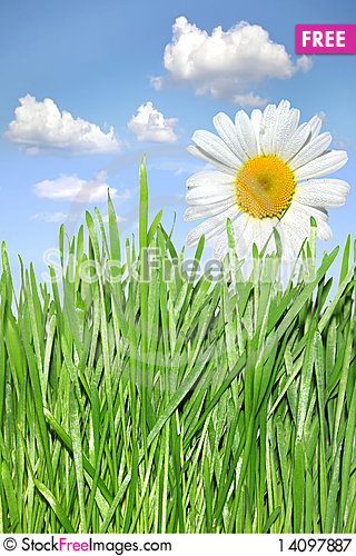Free Green Grass And Camomile Royalty Free Stock Photography - 14097887