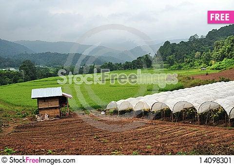 Free Rice Field Stock Image - 14098301