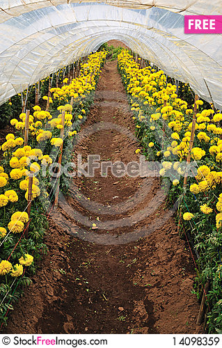 Free Flowers Farm Royalty Free Stock Images - 14098359