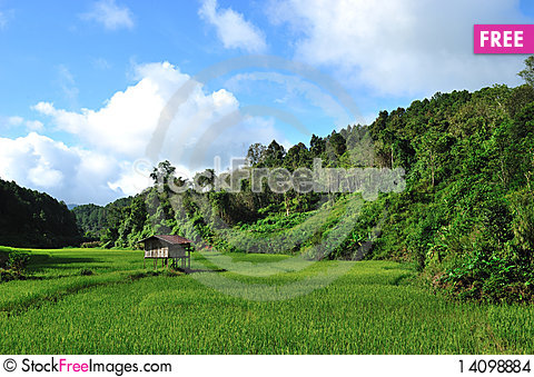 Free Rice Field Stock Images - 14098884