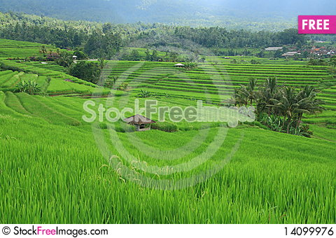 Free Rice Field At Bali Indonesia Royalty Free Stock Image - 14099976