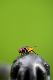 Free Fly Close-up Royalty Free Stock Photography - 14090397