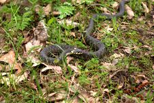 Free Grass Snake Stock Photography - 14091252