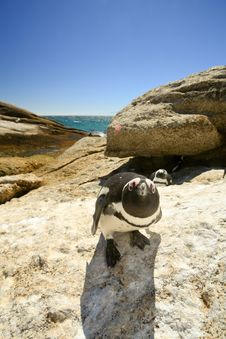 Penguin Looking In The Camera Stock Photography