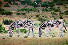 Two Zebras In Game Park, South Africa Stock Photography