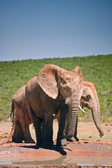 Free Elephant Drinking At Pool Stock Image - 14091871