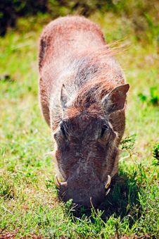 Free Warthog Grazing Grass Stock Photos - 14091883