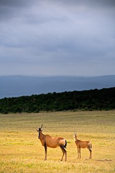 Free Adult Hartebeest With Juvenile Royalty Free Stock Photography - 14091927