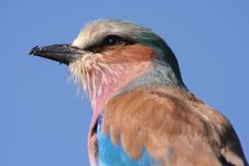 Free Lilac Breasted Roller Close-up Stock Images - 14092084