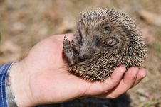 Small Hedgehog In Hand. Stock Photos