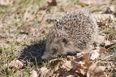 Beautiful Asian Hedgehog. Stock Photos