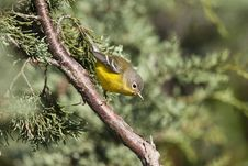 Free Ruby-crowned Kinglet Royalty Free Stock Photo - 14092355