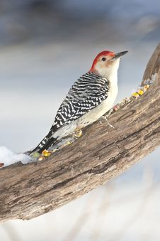 Free Red-bellied Woodpecker Royalty Free Stock Images - 14092359