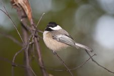 Free Black-capped Chickadee Royalty Free Stock Images - 14092369