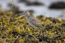 Willet Stock Photos
