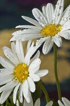 Free White Daisy Stock Photo - 14092400