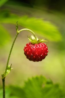 Free Wild Strawberry Royalty Free Stock Image - 14092806