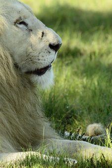 Free Scarred White Lion Stock Photos - 14094023