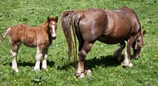 Baby Horse And Mother Stock Image